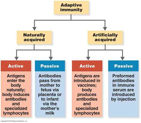 The Difference Between A Passive Difference Between Active Immunity And Passive Immunity