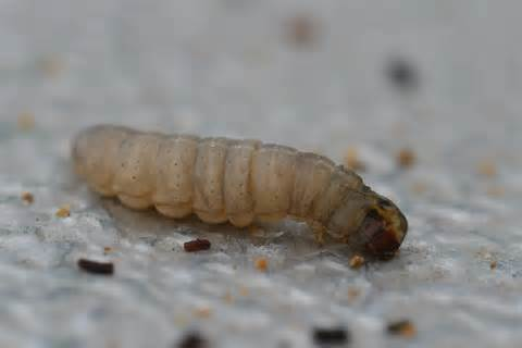 How To Get Rid Of Maggots In Pantry by Image Gallery Moth Larvae