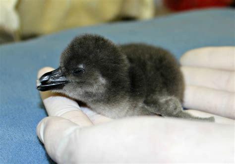 Penguin chick arrives at Adventure Aquarium – just in time ...