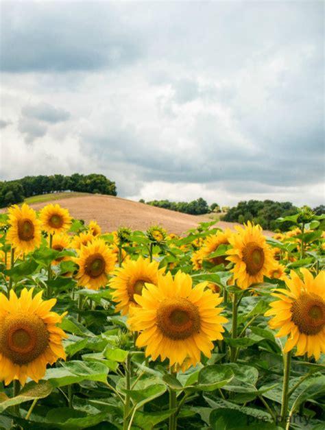 hipster sunflower tumblr