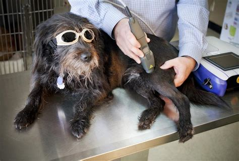 laser therapy for dogs veterinary services in ashland ma the family pet hospital