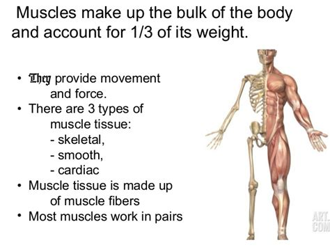 A Tour Of Your Muscular And Skeletal Systems organs that make up the muscular system applecool info