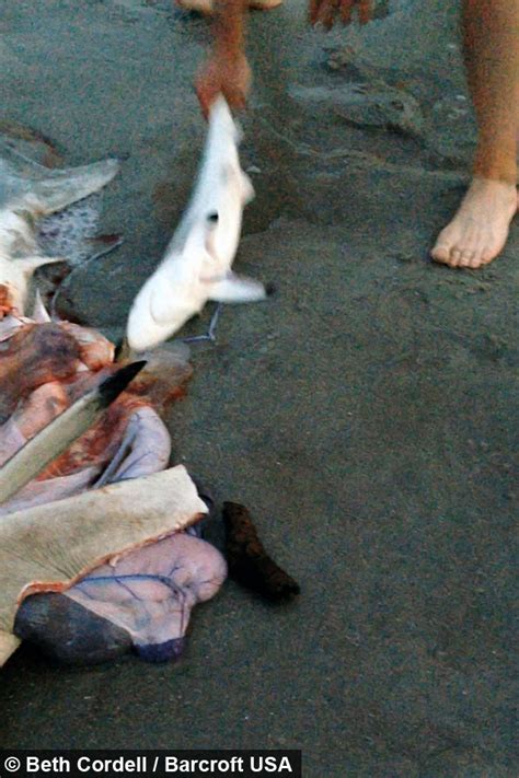 sea section birth sea section incredible shark birth caught on camera