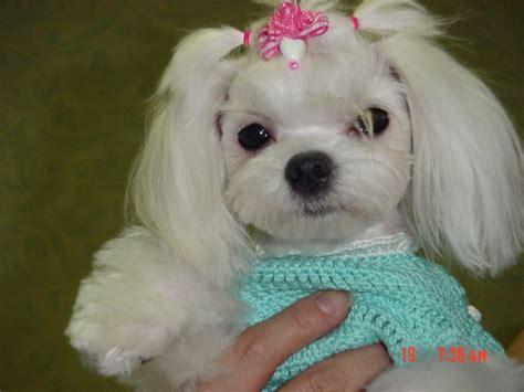 haircuts for maltese dogs need haircut ideas maltese