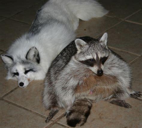 proof that pet raccoons make strange but wonderful pets