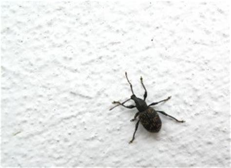 black bed bugs black bed bugs