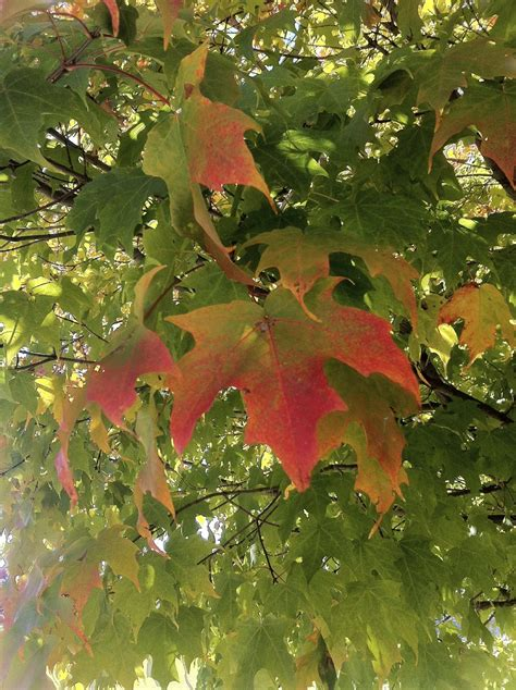i plant a maple tree how to grow a maple tree information about caring for maple trees