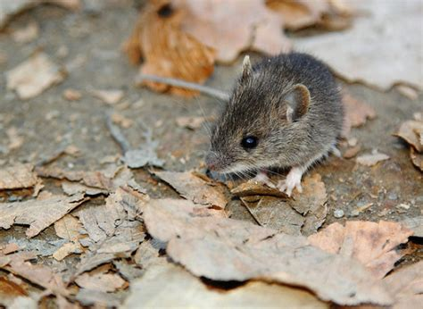 how do mice get in house how to get rid of mice in a house with dogs garden pest control deer electronic bug