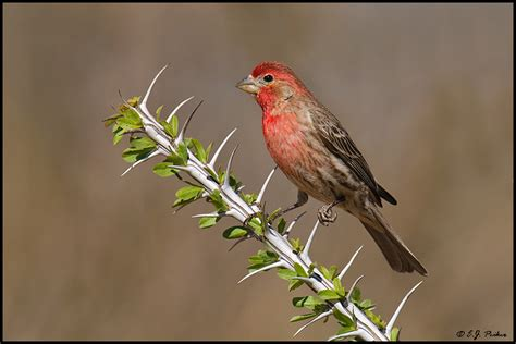 house finch arizona arizona finches search results million gallery