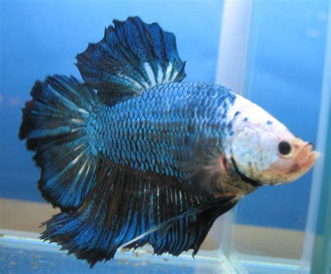 Pakan Ikan Cupang Selain Jentik Nyamuk ikan cupang betta sp 171 putra jogja