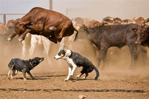 dogs at work cattle dogs at work australia
