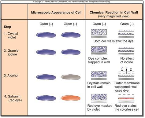 gram staining procedure in flowchart ihmc cmaps
