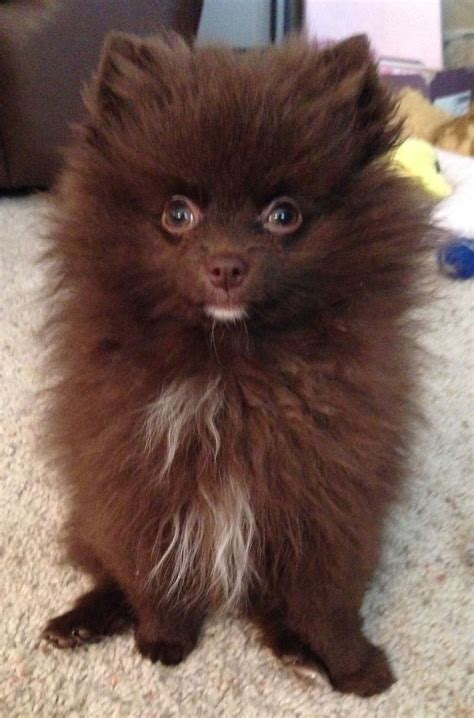 chocolate pomeranian puppy my chocolate pomeranian name is mocha frappuccino animals mocha