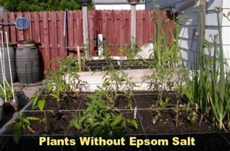 why i use epsom salt in the garden ecorenovator
