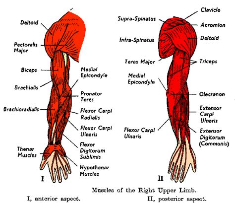 arm muscles diagram anatomyeshs ch 8 muscular system