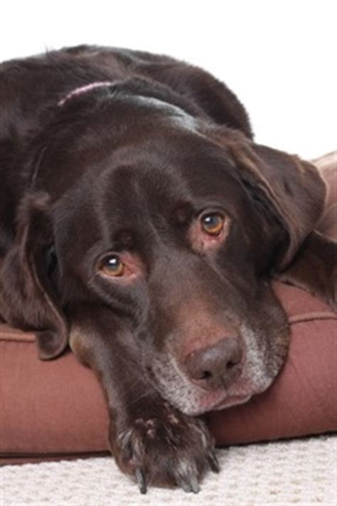 distemper symptoms in puppies distemper in dogs symptoms and treatment