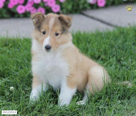 collie puppies for sale in pa 17 best ideas about collie puppies for sale on border collie puppies