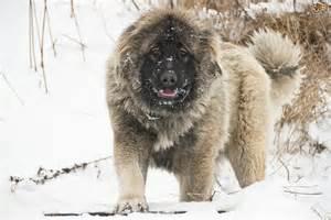 Dog russian russian prison mountain shepherd dogs russian mountain