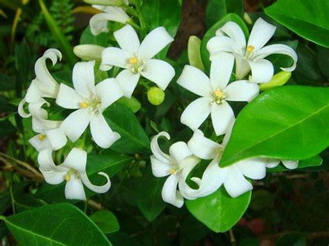 Pupuk Daun Bunga Hias tanaman hias cara menanam bunga kemuning