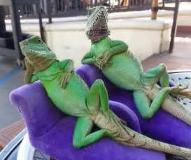 Lounge Lizards Check Out Awesome Lizards On The Awesomer