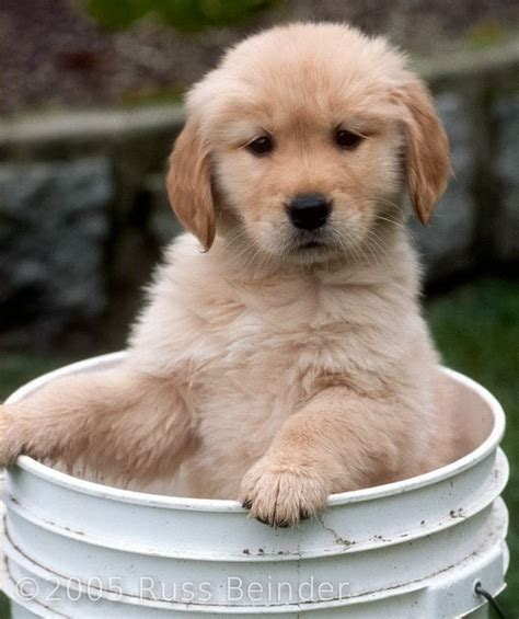 forever puppy golden retriever gallery for gt forever puppy golden retriever