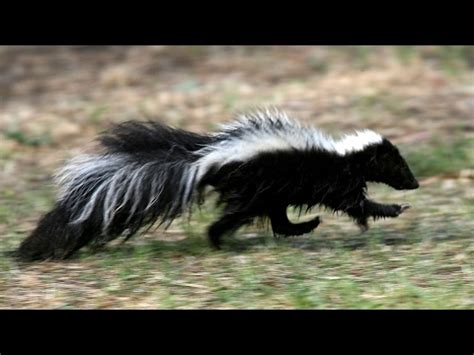 got sprayed by a skunk what to do and more importantly not to do if you get sprayed by a skunk