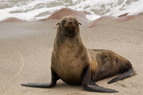 Sea Ls by File Cape Cross Seals 3690933239 Jpg Wikimedia Commons