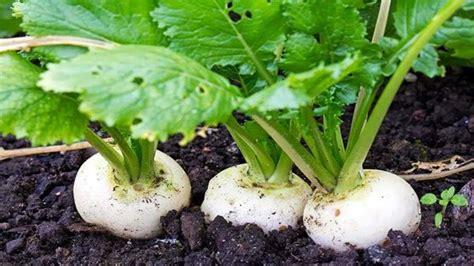 How to grow turnips / RHS Gardening