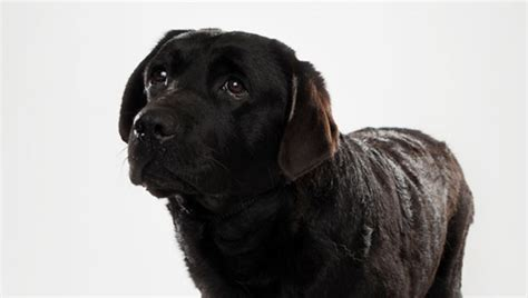 dogs 101 golden retriever animal planet golden retriever breeds dogs 101 breeds picture