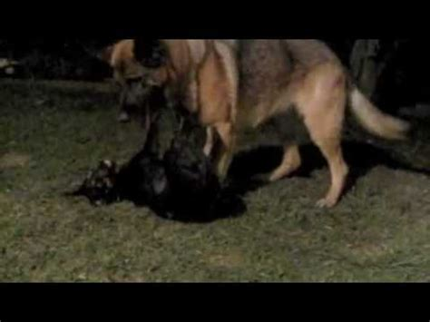 rottweiler vs german shepherd real fight the gallery for gt pitbull vs german shepherd real fight