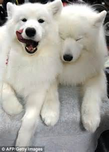 wolf looking dogs white wolf looking www pixshark images galleries with a bite