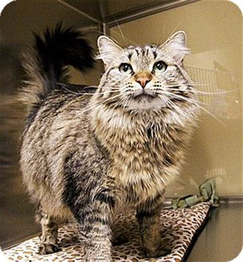 adoption ma maine coon cat adoption ma