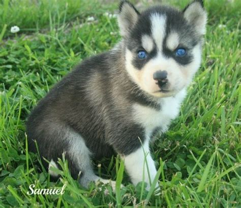 adopt a husky puppy 3 month husky puppy related keywords suggestions 3 month husky puppy