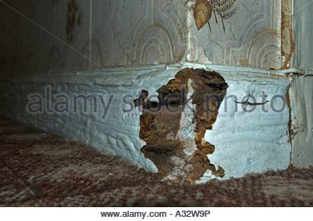 buying a house with dry rot dry rot in the skirting board of an old cottage stock photo royalty free image 34418731 alamy