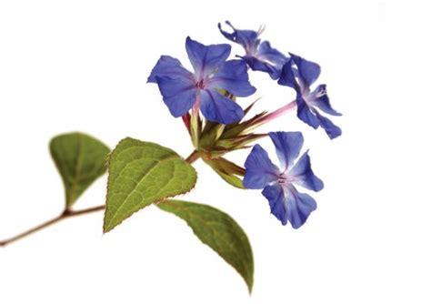 fiori di bacj fiori di bach trattamenti omeopatici napoli dott sa lia