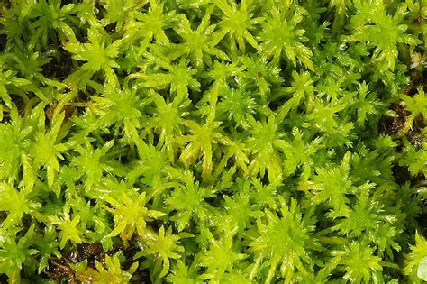 where what kind to buy live sphagnum moss pics