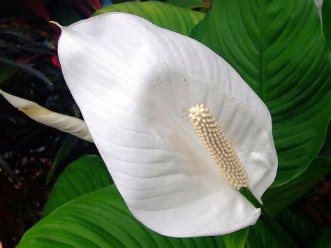Fleurs De Lys Entretien by Spathiphyllum Entretien Soins