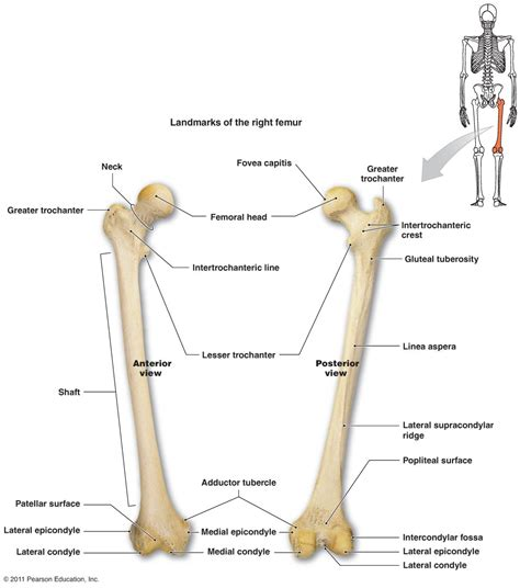 A Of Bones bone diagram labeled worksheet human anatomy chart