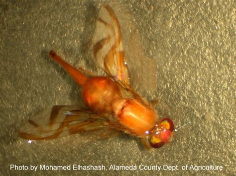why are there gnats in my bathroom exotic pests resources agriculture weights measures cda alameda county