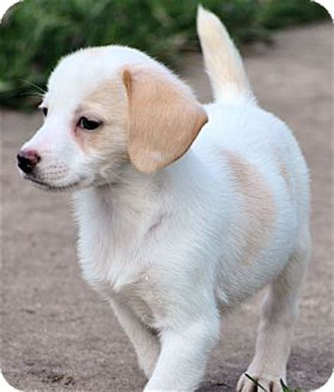 chihuahua puppies michigan adopted puppy kalamazoo mi chihuahua beagle mix