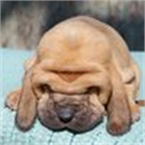 bloodhound puppies for sale in florida bloodhound puppies for sale bloodhound breeders