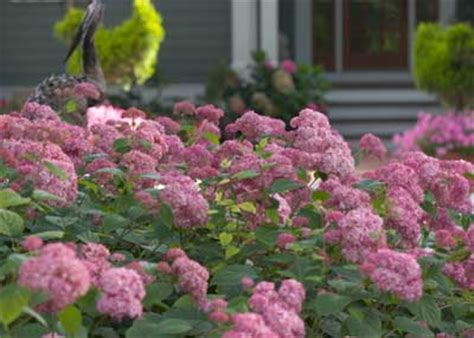pink flowering shrubs zone 5 images - Flowering Shrubs Zone 5
