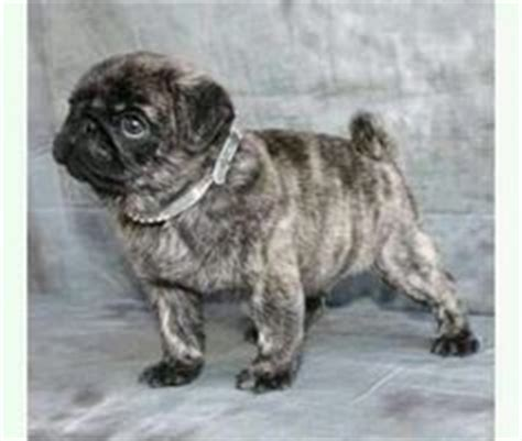 pug behavior problems 1000 images about pug pictures on pug a pug and baby pugs