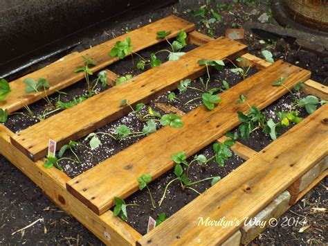 raised strawberry bed raised strawberry bed marilyn s way marilyn s way