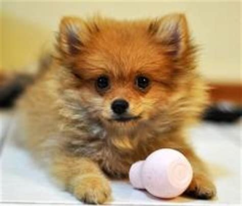 do pomeranian puppies shed do pomeranians shed about doggies