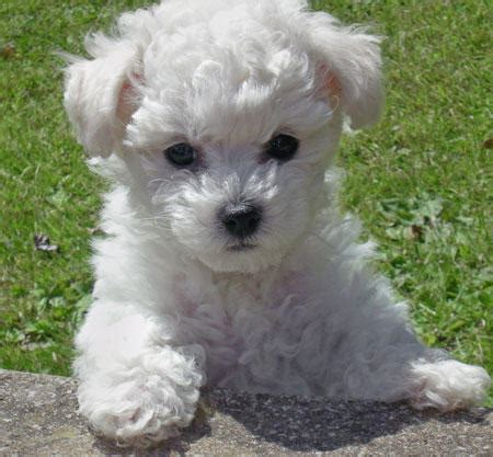 bichon frise puppies dogs 187 bichon frise blogs on dogs