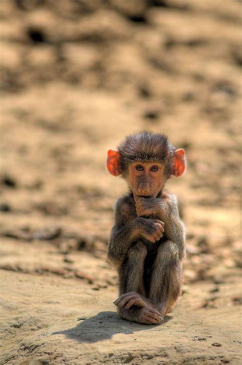monkey  big ears   cute cute pinterest spock baboon  shym