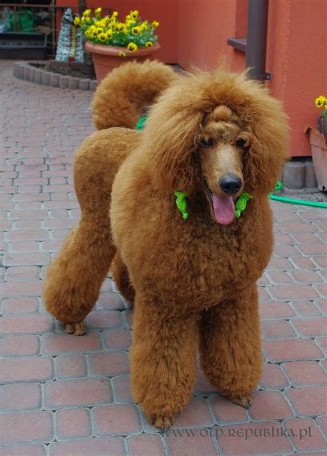 poodle lifespan standard poodle 10 best images about micro poodle on poodles