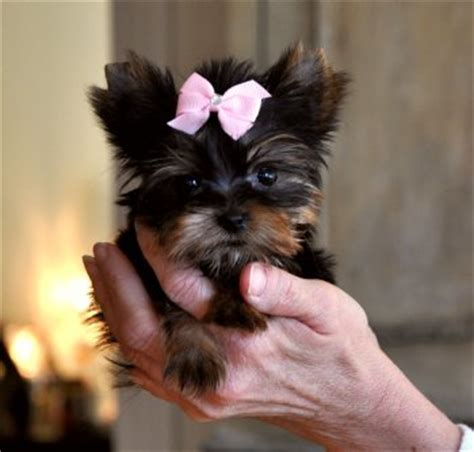 free teacup puppies in oklahoma teacup yorkie puppies for free adoption oklahoma city ok oklahoma breeds picture