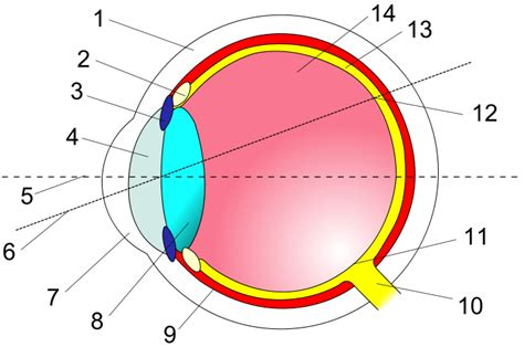 cross section of the human eye file eye in cross section svg